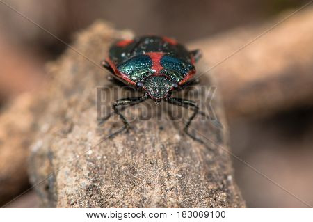 Brassica shieldbug (Eurydema oleracea). Red form of bug in family Pentatomidae aka cabbage bug viewed head on