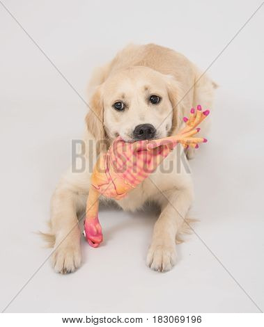 The dog Golden Retriever is holding a toy chicken in the mouth laying over white background
