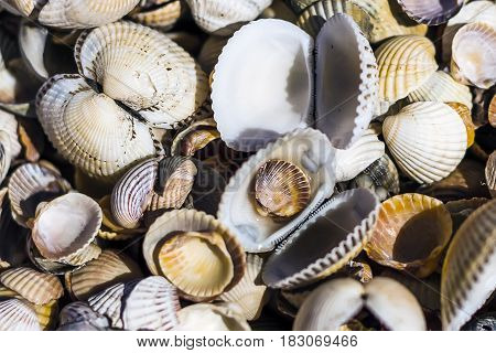 Shell beach. A large number of sea shells of different shapes.