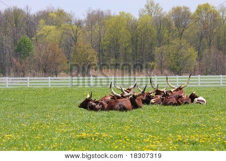 Herd Of Longhorn Steers