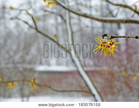 Blossoming of witch-hazel in early spring in snowfall in park near lake. Plant has valuable medicinal properties. Landscape. Background.