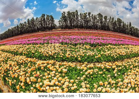 Spring in Israel. Magnificent flowering garden buttercups. The concept of modern agriculture and industrial floriculture. The picture is made  Fisheye lens