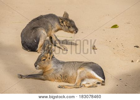 Two Mara resting on the sand Dolichotis patagona