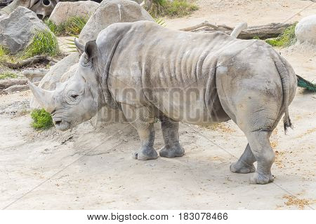 White rhinoceros calm and relaxed Ceratotherium simum