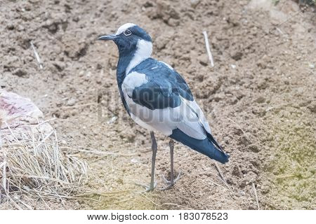 Blacksmith Lapwing watching something closely, staring ,Charadriidae