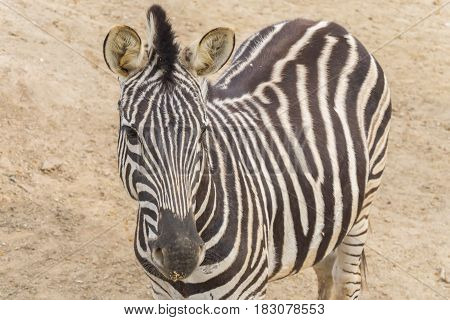 Zebra Chapman Equus Burchelli Chapmani staying quite