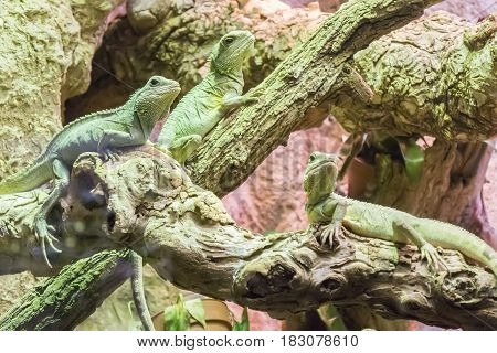 Three asian water dragon staying still in branches