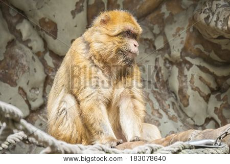 Barbary macaque staying calm and looking closely at something
