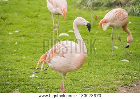 Group of flamingos in a prairie Phoenicopterus chilensis