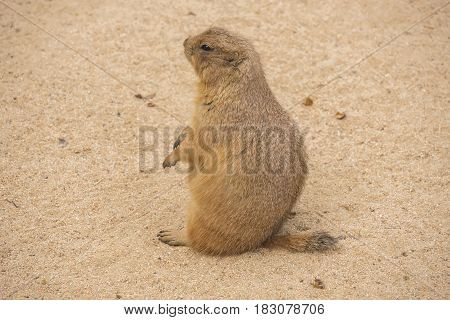Black-Tailed prairie dog sitting on the sand Cynomys ludovicianus
