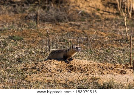 A Black-footed Ferret Scouting out the field