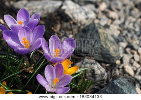 yellow and purple crocuses for the background