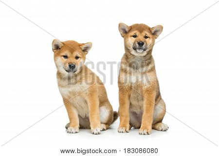 Two beautiful brown japanese shiba inu puppy dogs sitting. Isolated on white. Copy space.