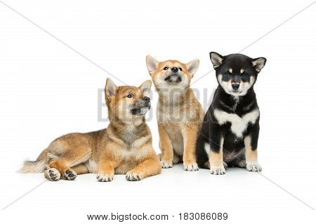 Two beautiful brown and black japanese shiba inu puppy dogs isolated on white background. Copy space.