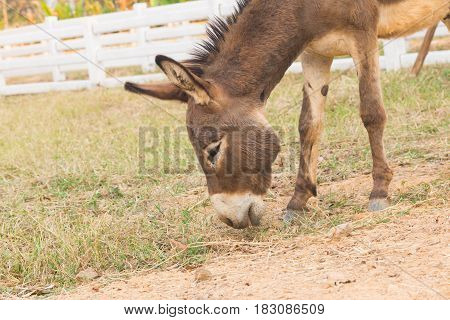 the Dwarf Horse in farm Eating grass