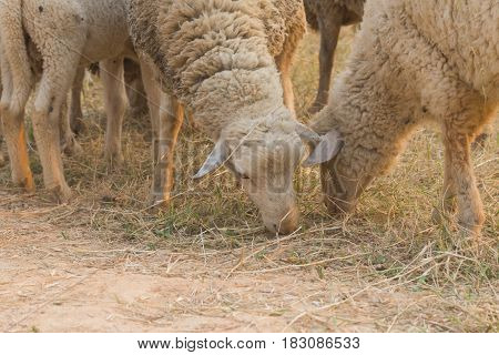 Lovely Sheep in Thailand farm Looking at camera