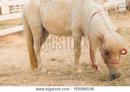 the Dwarf Horse in farm Eating grass