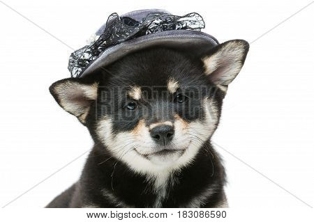 Beautiful black japanese shiba inu puppy in grey hat dog lying. Isolated on white. Copy space.