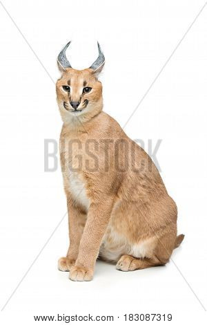 Beautiful caracal lynx 6 months old kitten sitting on white background. Isolated. Studio shot. Copy space.