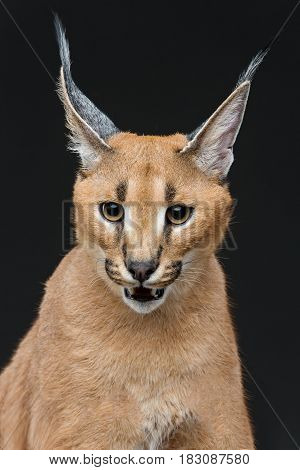 Beautiful caracal lynx 6 months old kitten sitting on black background. Studio shot. Copy space.