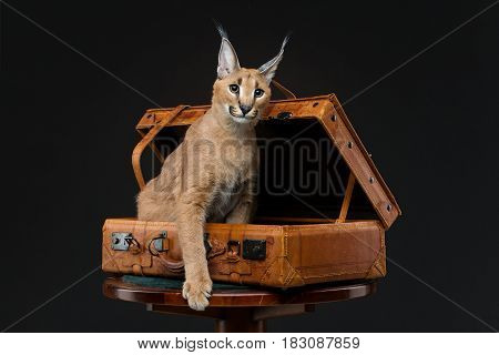 Beautiful caracal lynx 6 months old kitten sitting in vintage travel suit case over black background. Studio shot. Copy space.