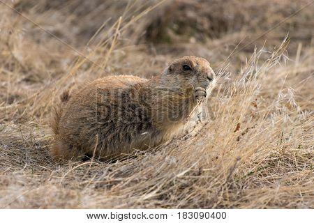 A Black-tailed Prairie Dog Eating Lunch on the Prairie