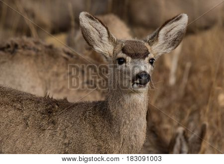 A Young Mule Deer and Funny Reaction