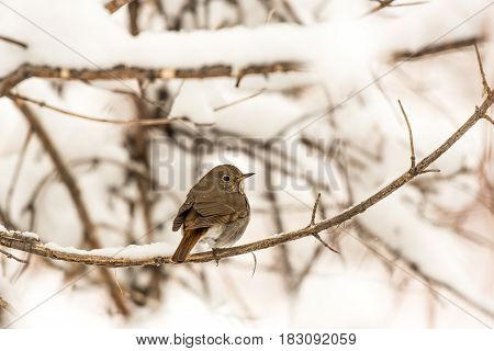 A Hermit Thrush Enduring the Cold Colorado Weather