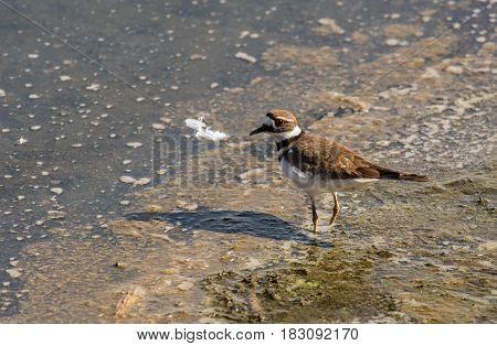 A Killdeer Wondering along the Shoreline of a Lake