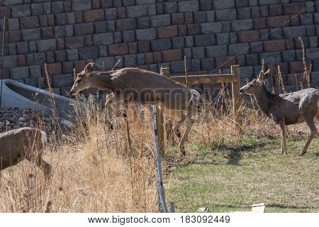 A Young Mule Deer Jumping over a Fence