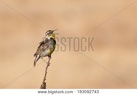 A Western Meadowlark Singing for a Mate during Spring