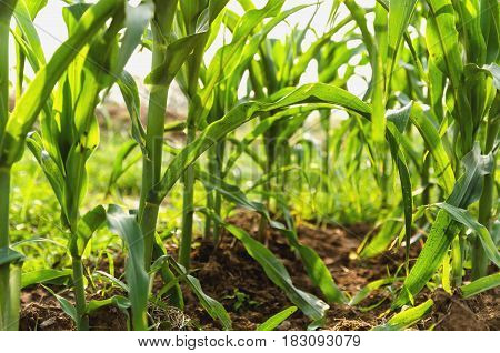 Corn agriculture. Green nature. Rural field on farm land in summer. Plant growth. Farming scene