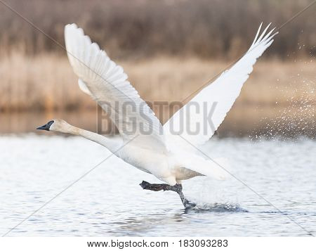 A Trumpeter Swan taking flight from a wetland