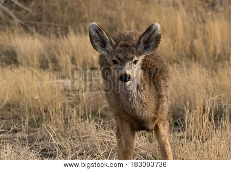 A Cute Young Mule Deer Eating in a Field Looks Up