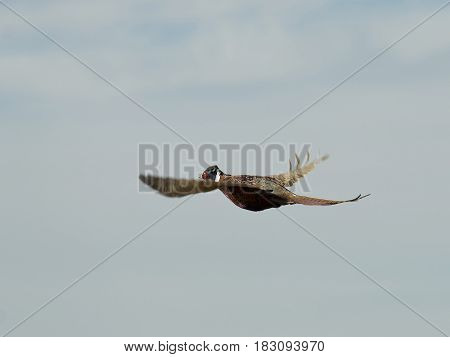 A rooster pheasant in flight in South Dakota