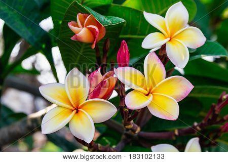 Beautiful frangiapani panicle - Champa Laos flower