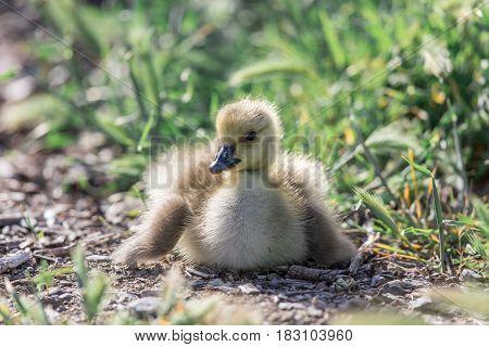 Canada Gosling (Branta Canadensis) Resting. Santa Clara County, California, USA.