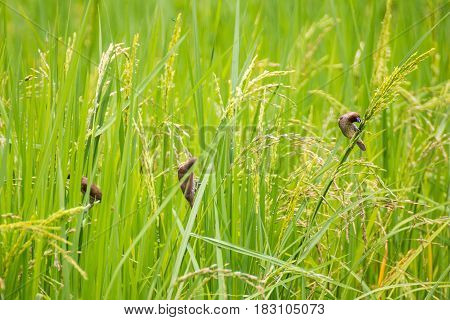 Birds eat in the rice fields The output