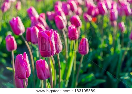 Dark pink colored tulips in long converging tulip beds at a specialized bulb grower in the Netherlands. It is early in the morning of a sunny day in the beginning of the spring season.