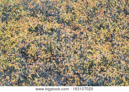 tapestry of shrubs in fall colors in Colorado's Rocky Mountains