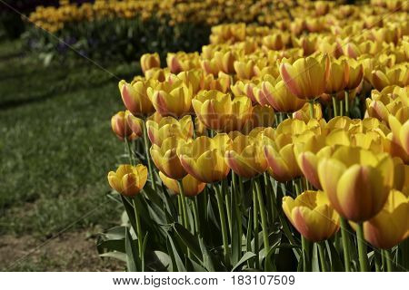 Yellow tulips flowerbed at outdoor park, cultivated at park on ground.