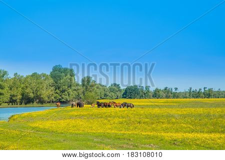 Horses on green field in spring in nature park Lonjsko polje, Croatia