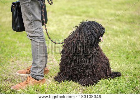 Cute Puli Dog In The Park