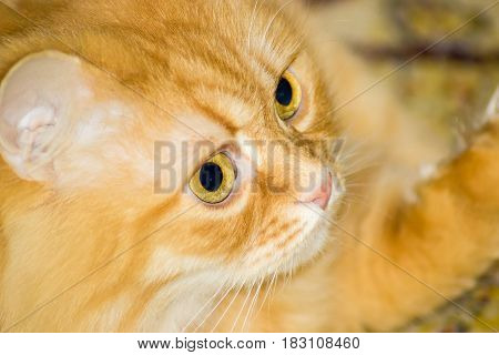 Fragment of the head of the red house cat with eyes nose an ear closeup