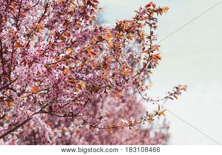 Background of the branches of the blossoming ornamental plum trees with flowers and young leaves