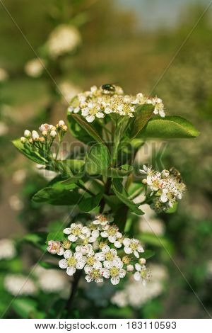 Blossom of Aronia melanocarpa branches in fruit orchard