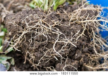 Plants With Roots For Transplantation