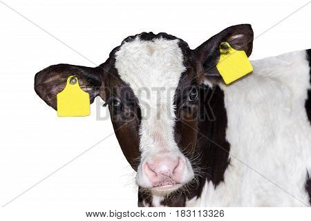young calf (bull) isolated on white background