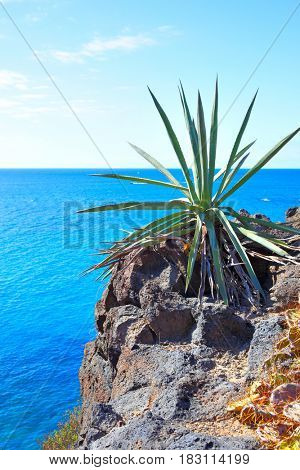 Aloe vera plant and sea in the background, Tenerife, Canary Islands