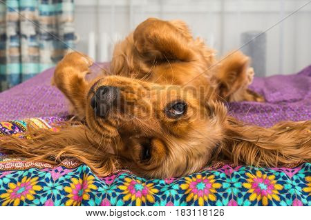 English Cocker Spaniel Is Lying On Bed
